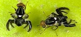 Adult flies; male (left) and female (right)