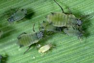 Corn leaf aphid nymphs and adults.