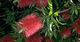 Flower of bottlebrush