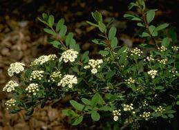 Spirea leaves and flowers