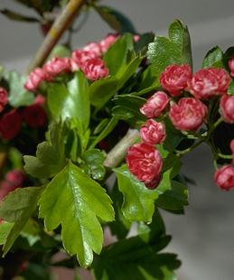 Hawthorn leaves and flowers