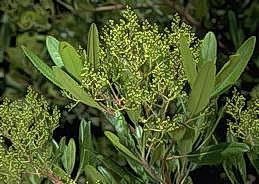 Toyon leaves and buds