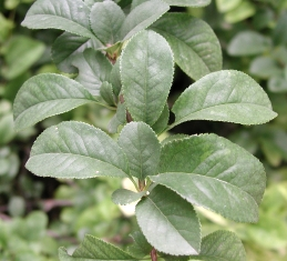 Foliage of quince