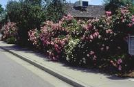 Upright landscape rose varieties such as Pink Simplicity, shown here, are medium to large shrubs.
