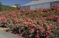 Groundcover roses are useful for covering banks or walls.