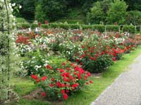 Roses in a traditional garden setting.