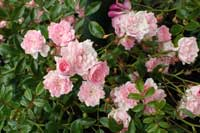 The polyantha rose variety 'The Fairy.'