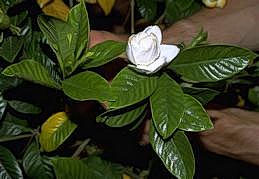 Gardenia leaves and flower