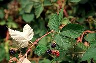 Himalaya blackberry, Rubus armeniacus, fruit and whitish color on back of leaflet.