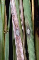 Aggregate sheath spot infections begin as large, single, gray spots at the water line.
