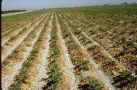 Rhizopus root rot causes sugar beet plants to collapse and turn brown.