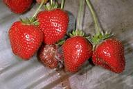 Rhizopus fruit rot causes strawberry fruit to collapse and leak their contents.