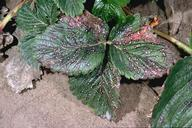 Lesions grow together as common leaf spot develops.