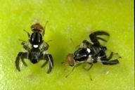 Adult apple maggot flies; male (left) and female (right).