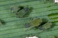 Corn leaf aphid adults and nymphs.
