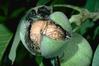 Once walnut husks split in late summer or early fall, the nuts are ready to harvest.