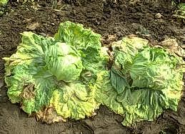 Wilting of outer leaves on lettuce