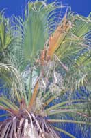 In the California fan palm with petiole blight, the petiole typically has a reddish brown streak running its length.