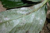 Powdery mildew sporulatoin