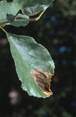 Septoria alnifolia infection of alder