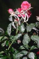 Powdery mildew on rose.