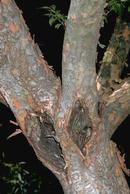 Chinese elm anthracnose cankers.