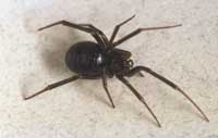 Mature false black widow female, Steatoda grossa.