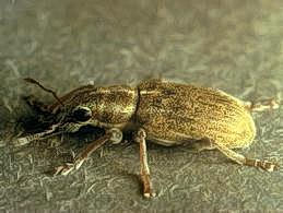Pea leaf weevil adult