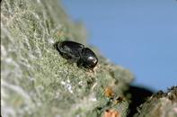 Bark beetles make tiny holes in tree trunks and branches.