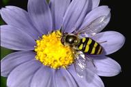 Syrphid fly (flower fly, hover fly) adults