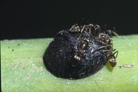 Argentine ants tending scale