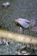 Adult ash whitefly.