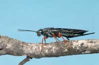 Adult wood wasp, Sirex californicus, female.