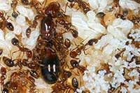 Red imported fire ants queen, workers, eggs, larvae, pupae