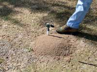 Red imported fire ant mound