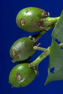 Young avocado fruit damaged by omnivorous looper