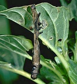 An armyworm killed by a viral disease