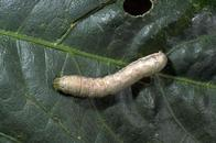 Larva of beet armyworm.