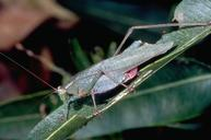 Adult forktailed bush katydid.