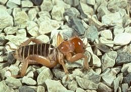 Jerusalem cricket adult