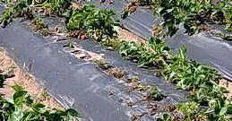 Symphylan damage to strawberry plants