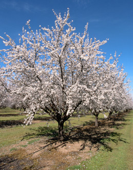 Almond tree at full bloom.