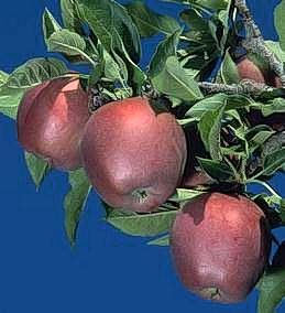 Mature apples