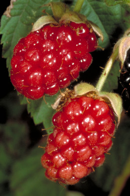 A fruit cluster of immature red and black ripe olallieberry blackberry.