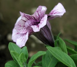 Side view of petunia