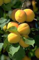 Apricot mature fruit