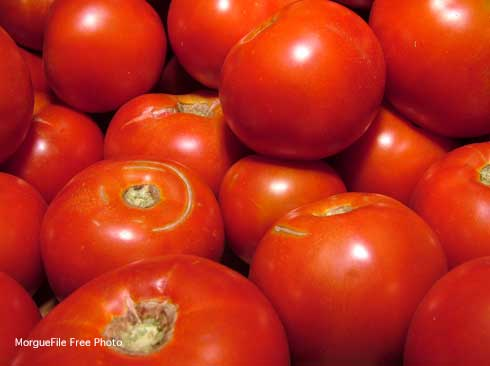 Fresh harvested red tomatoes, Solanum lycopersicum.