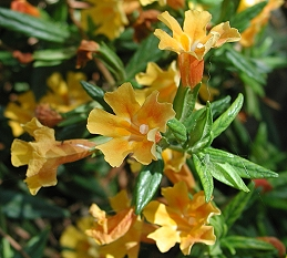 Orange flowers of sticky monkey flower
