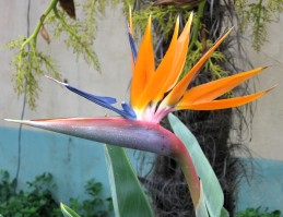 Flower of bird of paradise