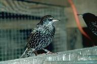 Figure 7. Adult European starling.
